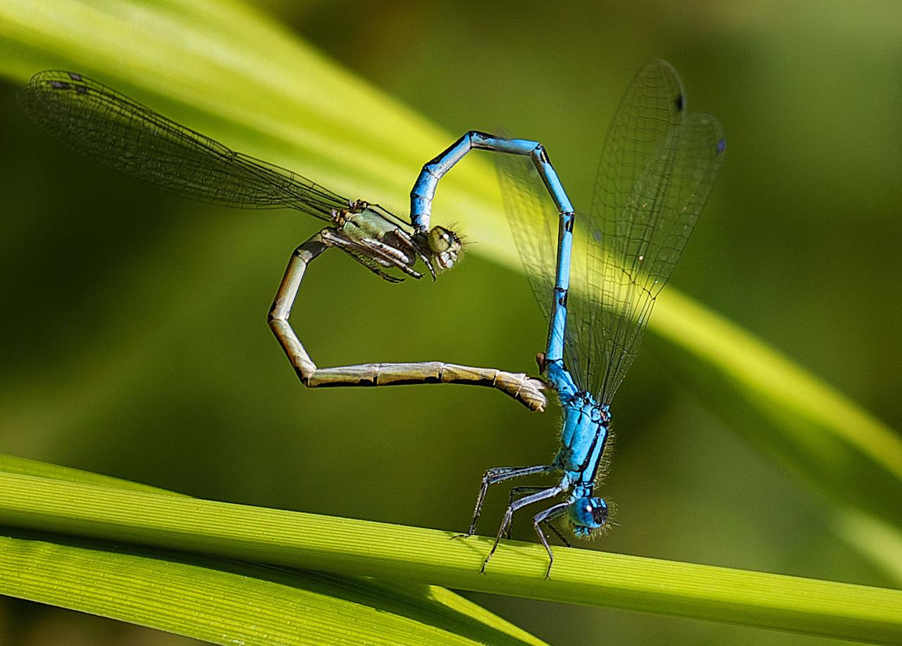 PIC BY MARK BRIDGER / CATERS NEWS - (PICTURED Damselflies make the shape of a heart) With Valentines Day just around the corner its the time of year when love is in the air but as these pictures prove - its all over the earth too. These extraordinary images, taken by photographers across the globe, show Mother Nature is also gearing up to celebrate the big day with iconic heart shapes appearing all over the natural world. The charming pictures capture Mother Natures romantic side and feature several signs of love including an adorable fluffy penguin with a white heart emblazoned on its chest. Other natural displays include a flamingo creating a heart shape with its white and pink plumage and two swans which appear to kiss as they form a heart shape with their necks. SEE CATERS COPY