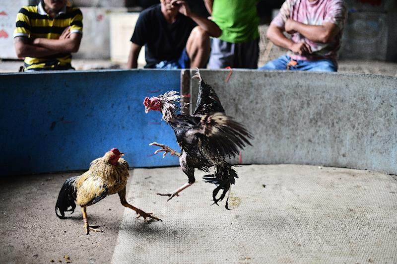 Cocks fight in a makeshift ring under a highway in central Bangkok (AFP Photo/)