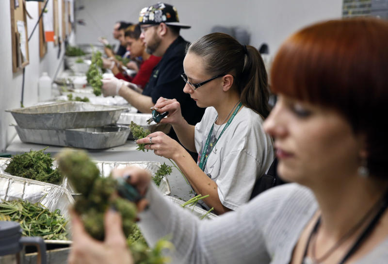 Employees trim pot plants to be sold at Medicine Man marijuana dispensary in Denver, Friday Dec. 27, 2013. Medicine Man was among the first batch of Denver businesses which received their licenses allowing them to legally sell recreational marijuana on Friday. (AP Photo/Brennan Linsley)