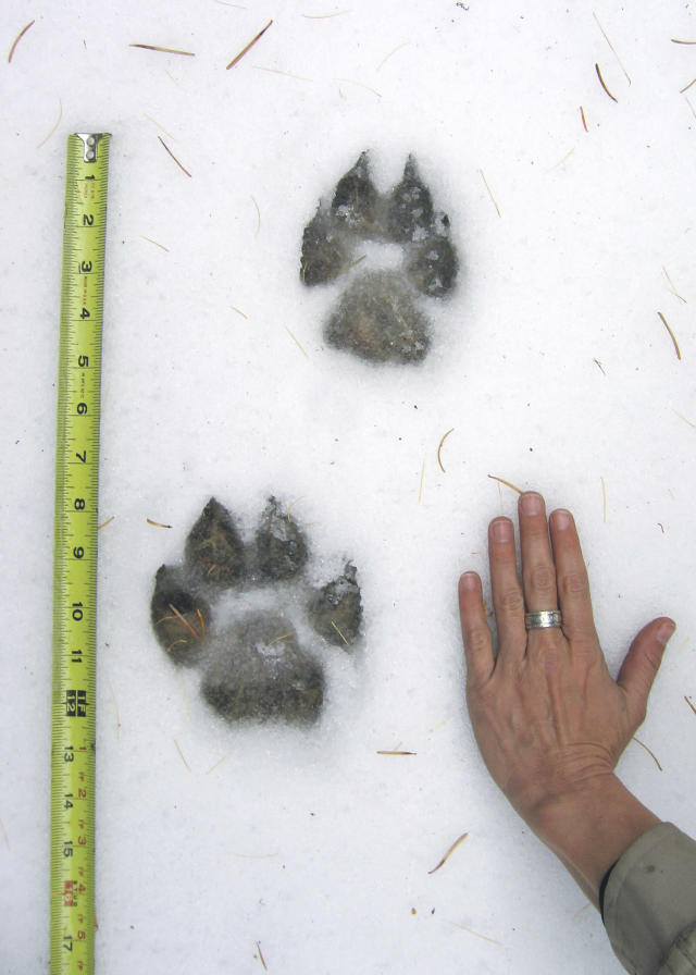 This Fall 2007 photo provided by the Oregon Department of Fish and Wildlife shows Western gray wolf tracks in the north Keating Wildlife Management Unit in Baker County. A wolf's hind foot is smaller in size and generally placed in front of the front foot when trotting. (ODFW via AP)