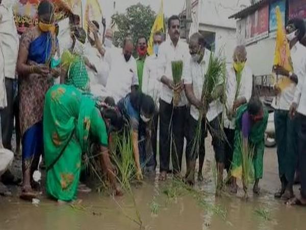 TDP cadre sow paddy on damaged road to protest against poor condition of road on Thursday. Photo/ANI