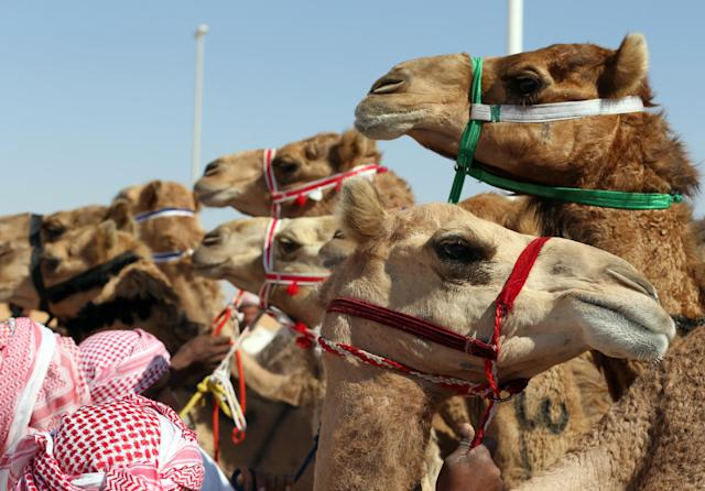<p>Camels line up prior to the start of a race at the annual Moreeb Dune Festival on Jan. 1. (Photo: Karim Sahib/AFP/Getty Images) </p>
