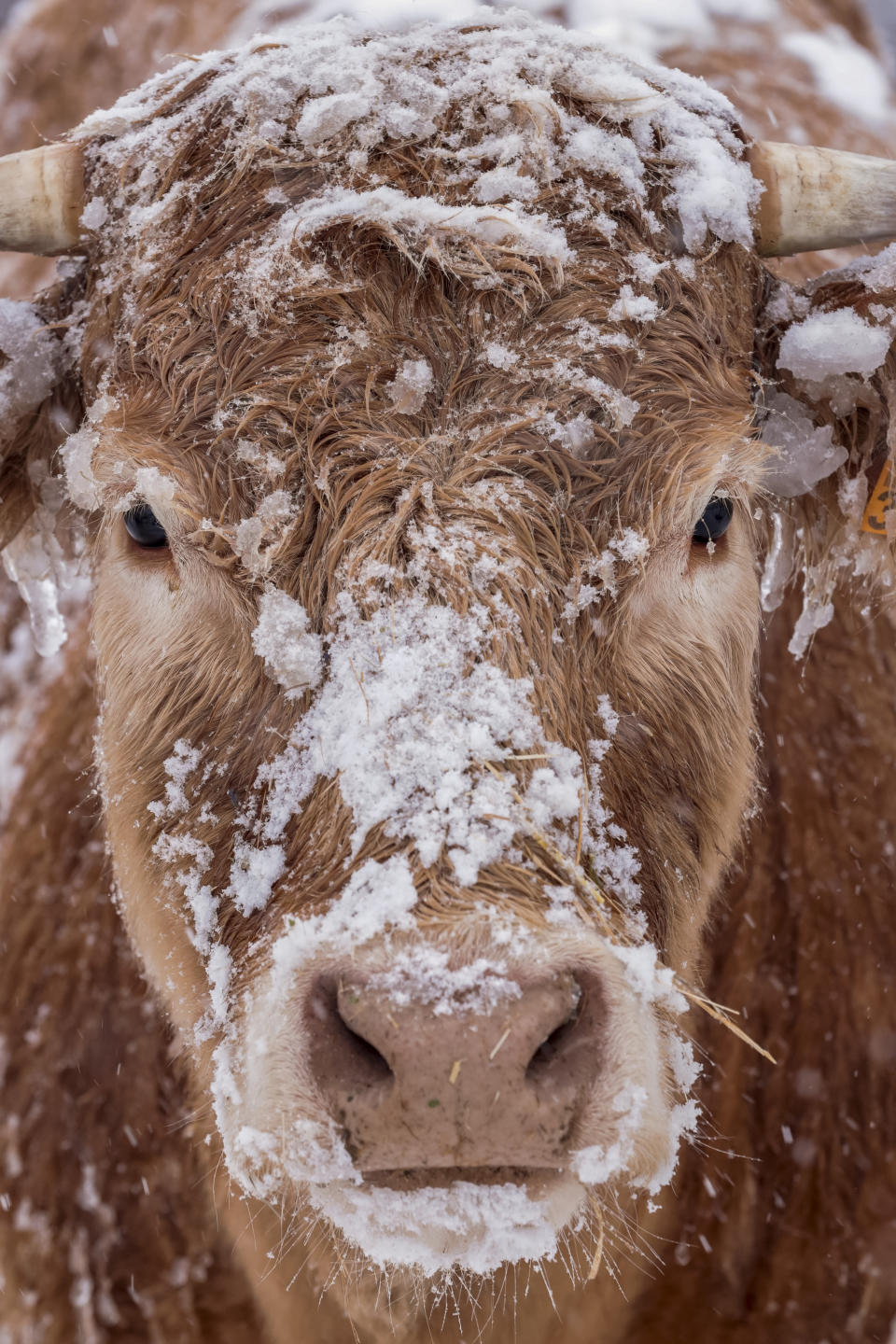 A cow grazes during a heavy snowfall in Bustarviejo, outskirts of Madrid, Spain, Saturday, Jan. 9, 2021. A persistent blizzard has blanketed large parts of Spain with 50-year record levels of snow, halting traffic and leaving thousands trapped in cars or in train stations and airports that suspended all services as the snow kept falling on Saturday. Half of Spain is on alert, with five provinces on their highest level of warning. (AP Photo/Bernat Armangue)