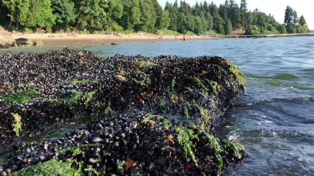 Dead mussels are seen along the shoreline of Third Beach in Vancouver on June 27, in the middle of B.C.'s record-breaking heat wave. (Chris Harley/University of British Columbia - image credit)