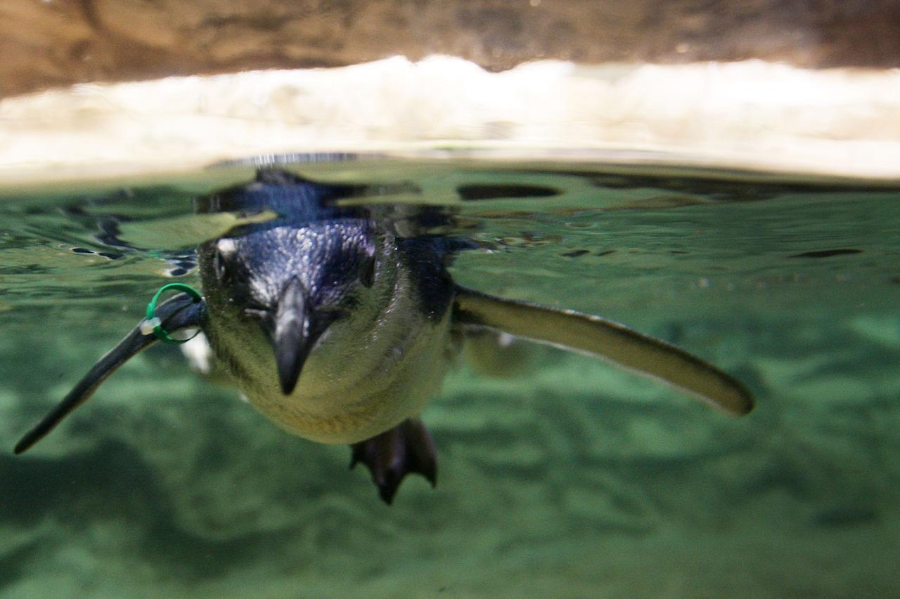 SYDNEY, AUSTRALIA - JANUARY 18:  A baby penguin swims in a tank after being released at Sydney Aquarium on January 18, 2012 in Sydney, Australia. Three baby penguins were released into the aquarium and reunited with their parents for the first time since birth.  (Photo by Lisa Maree Williams/Getty Images)