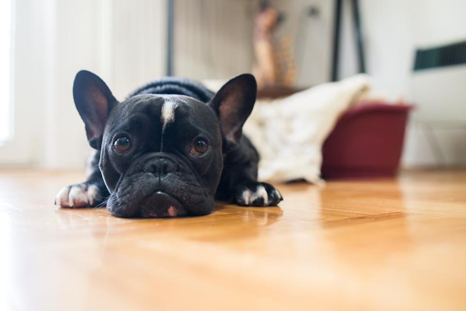 A French bulldog. (PHOTO: Getty Images)