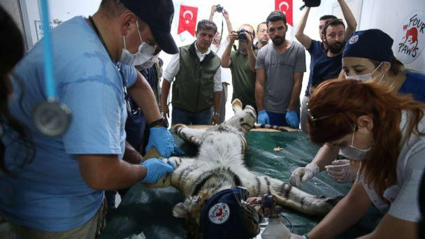 PHOTO: A tiger rescued from Syria's Aleppo zoo receives a medical treatment from members of Four Paws, in Bursa, Turkey, July 26, 2017.  (Ali Atmaca/Anadolu Agency via Getty Images)
