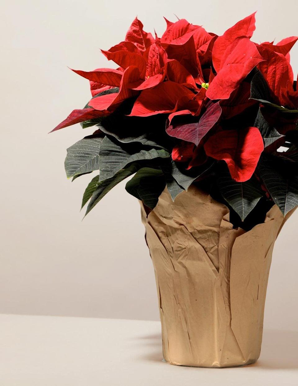 <p>The <span>The Sill Poinsettia</span> ($38) is a holiday staple.</p>