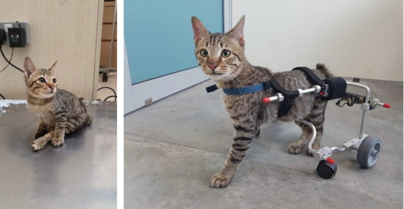 Flute, an abandoned cat with a damaged spine, has been undergoing physiotherapy sessions in at SPCA's Community Animal Clinic, and has also been fitted with a set of wheels to aid its mobility. (PHOTO: Society for the Prevention of Cruelty to Animals)