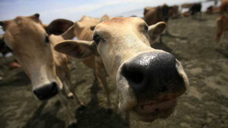 Indon starts annual cattle import quota