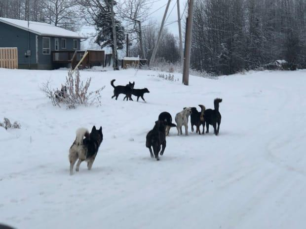 A pack of dogs in the northern village of La Loche. The Saving Grace Animal Society is hoping to round up between 100 to 150 dogs on Sunday, and find them foster homes.