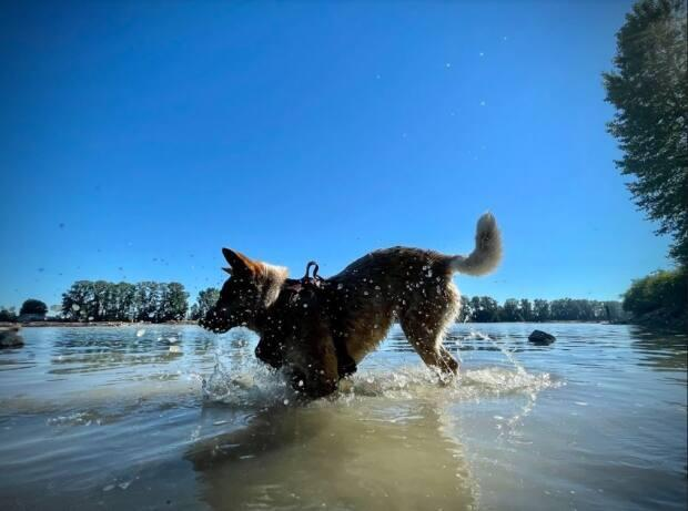 A dog splashes around in the Fraser River on June 26, 2021. (Ben Nelms/CBC - image credit)