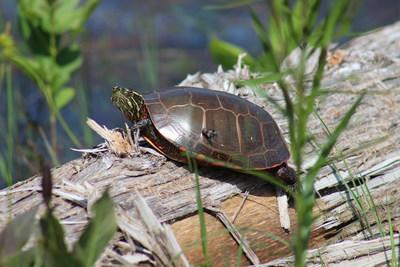 Painted Turtle at OPG's Kincardine Site (CNW Group/Ontario Power Generation Inc.)