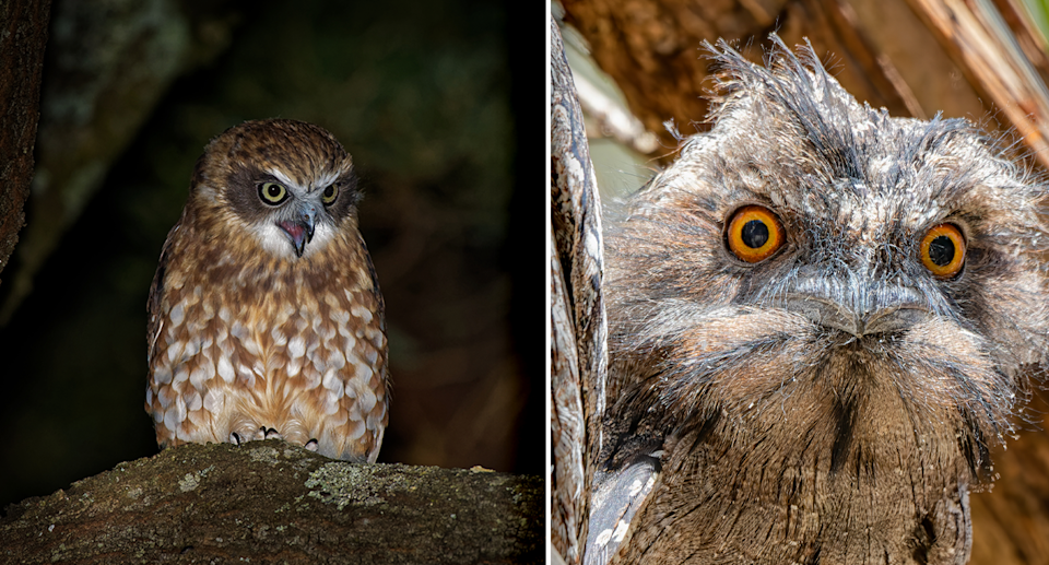 Left - a boobook. Right - a tawny frogmouth.