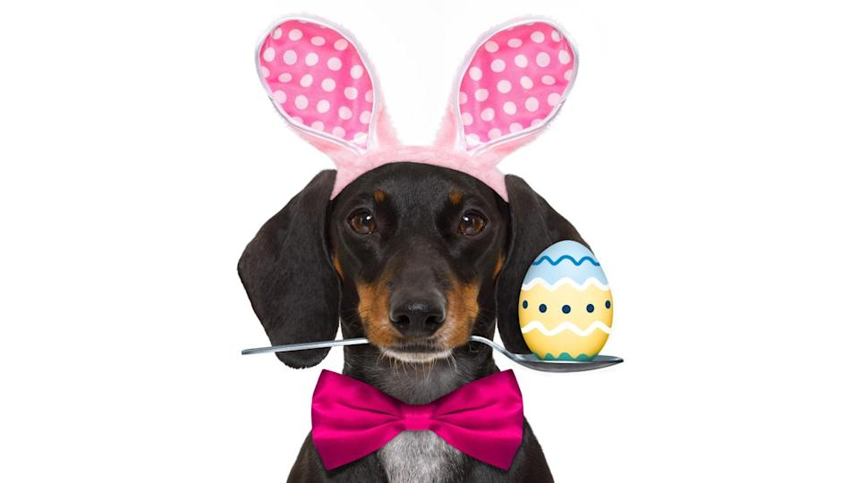 M&S is selling milk chocolate sausage dog egg: dachshund sausage dog with bunny easter ears and a pink tie, isolated on white background, spoon in mouth with egg