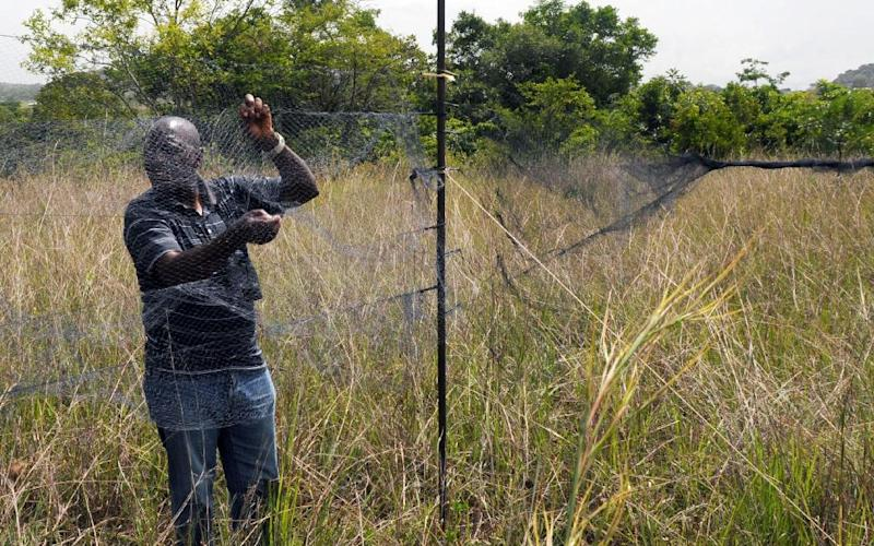Shitwua Manu, Director of the AP Leventis Ornithological Research Institute at the University of Jos, sets bird nets at the Amurum Forest Reserves in Jos, Plateau State, on June 5, 2014 (AFP Photo/)