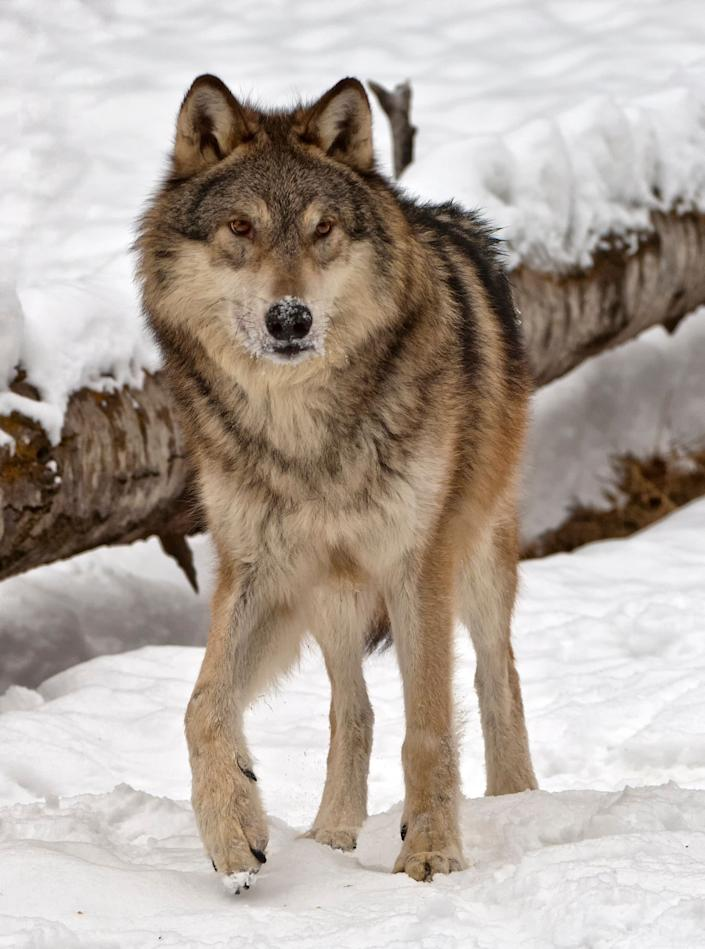 An alert grey wolf, or timber wolf, watching its winter snow covered surroundings.