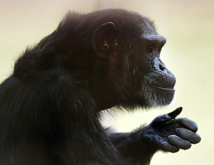 In this photo taken Aug. 8, 2016, Foxie, a chimp who lives at Chimpanzee Sanctuary Northwest near Cle Elum, Wash., sits on a platform during a party for her 40th birthday. Sanctuaries across the country are preparing for an influx of retired private lab chimpanzees, now that the federal government has stopped backing experiments on humankind's closest relatives. (AP Photo/Ted S. Warren)