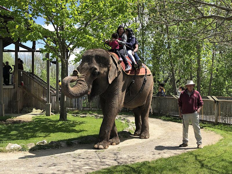Animals in zoos are often forced to do unnatural and demeaning behaviour that contradict the World Association of Zoos and Aquariums (WAZA) animal welfare guidelines, like this elephant giving rides at African Lion Safari, in Ontario. (Photo handout from CNW Group/World Animal Protection)