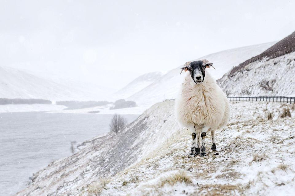 <p>A blackface sheep stands above Megget Water, near Meggethead in the Scottish Borders.</p>