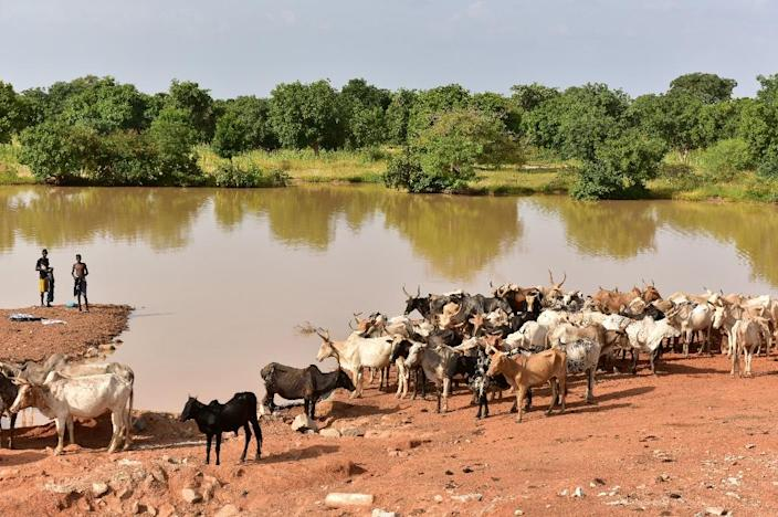 Herders say there are areas of northern and eastern Burkina Faso where they are afraid to graze their cattle due to presence of jihadist groups (AFP Photo/ISSOUF SANOGO)