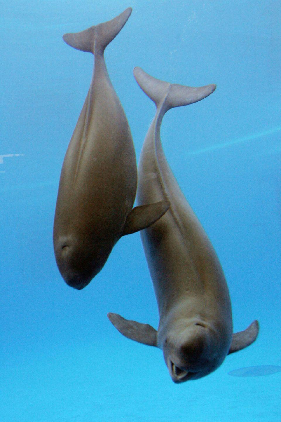 "<p><strong>Scientific classification:</strong> <em>Neophocaena asiaeorientalis</em></p><p><strong>Location:</strong> China</p><p>While the finless porpoise is considered merely threatened in its habitat across Pacific and Indian ocean coastal waters, the Yangtze River population is in rapid decline. There were just <a href=""https://www.worldwildlife.org/species/yangtze-finless-porpoise"" rel=""nofollow noopener"" target=""_blank"" data-ylk=""slk:1,800 reported 10 years ago"" class=""link rapid-noclick-resp"">1,800 reported 10 years ago</a>, and the population may be as low as 500 now.<br></p><p>Wide-scale infrastructure projects on the river and industrial pollutants have affected the ecosystem of the river downstream, which, combined with bycatch fishing and boating activities, drove the aforementioned baiji to extinction. The pollution of the Yangtze also contributes vastly to pollution in the ocean. An alligator species that lives in the river is in precipitous decline as well, with only 120 left. The problems facing the Yangtze are, in other words, not just isolated to one species, but to the entire ecosystem, and ecosystems that live downstream of the river.</p>"
