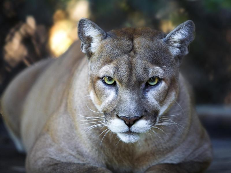 Stock photo of a Florida panther: Getty Images