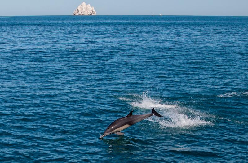 "A dolphin leaps in the Cortes Sea in San Felipe, Baja California State, Mexico on March 18, 2016. The Mexican Navy is carrying out an operation to arrest illegal fishermen using nets to catch the Totoaba macdonaldi fish, because the illegal gill-nets frequently trap the rare Phocoena sinus or ""vaquita marina in Spanish - the world's smallest porpoise - which is endemic to the region and in danger of extinction. / AFP / HECTOR GUERRERO / TO GO WITH AFP STORY by Laurent Thomet and Dennis Chong (Photo credit should read HECTOR GUERRERO/AFP/Getty Images)"