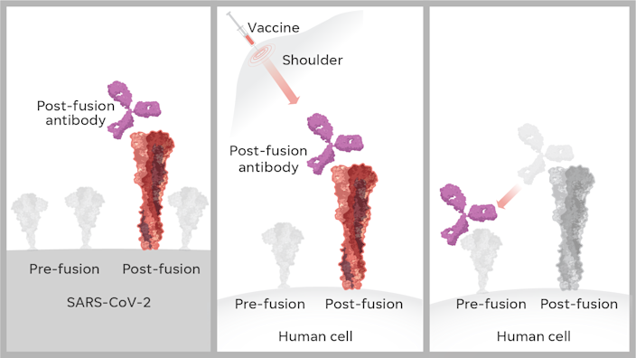 When making a vaccine, scientists discovered in 2013 that the spike proteins on the surface of a virus change shape radically. Before the virus attacks a human cell, the protein looks like a lollipop – its pre-fusion state. Afterward, post fusion, it looks like a golf tee. A vaccine that mimics the golf-tee shape could produce less effective and potentially harmful antibodies.