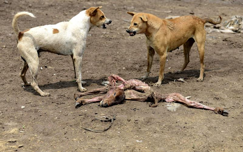In this file photo taken on August 30, 2016 dogs growl at each other as they fight over the remains of a dead calf on the outskirts of Wadhvan, some 140km from Ahmedabad in Gujarat state - AFP