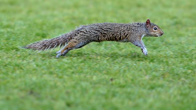 "Soccer Football - League One - Doncaster Rovers vs Wigan Athletic - Keepmoat Stadium, Doncaster, Britain - May 5, 2018 A squirrel runs across the pitch before the match Action Images/John Clifton EDITORIAL USE ONLY. No use with unauthorized audio, video, data, fixture lists, club/league logos or ""live"" services. Online in-match use limited to 75 images, no video emulation. No use in betting, games or single club/league/player publications. Please contact your account representative for further details."