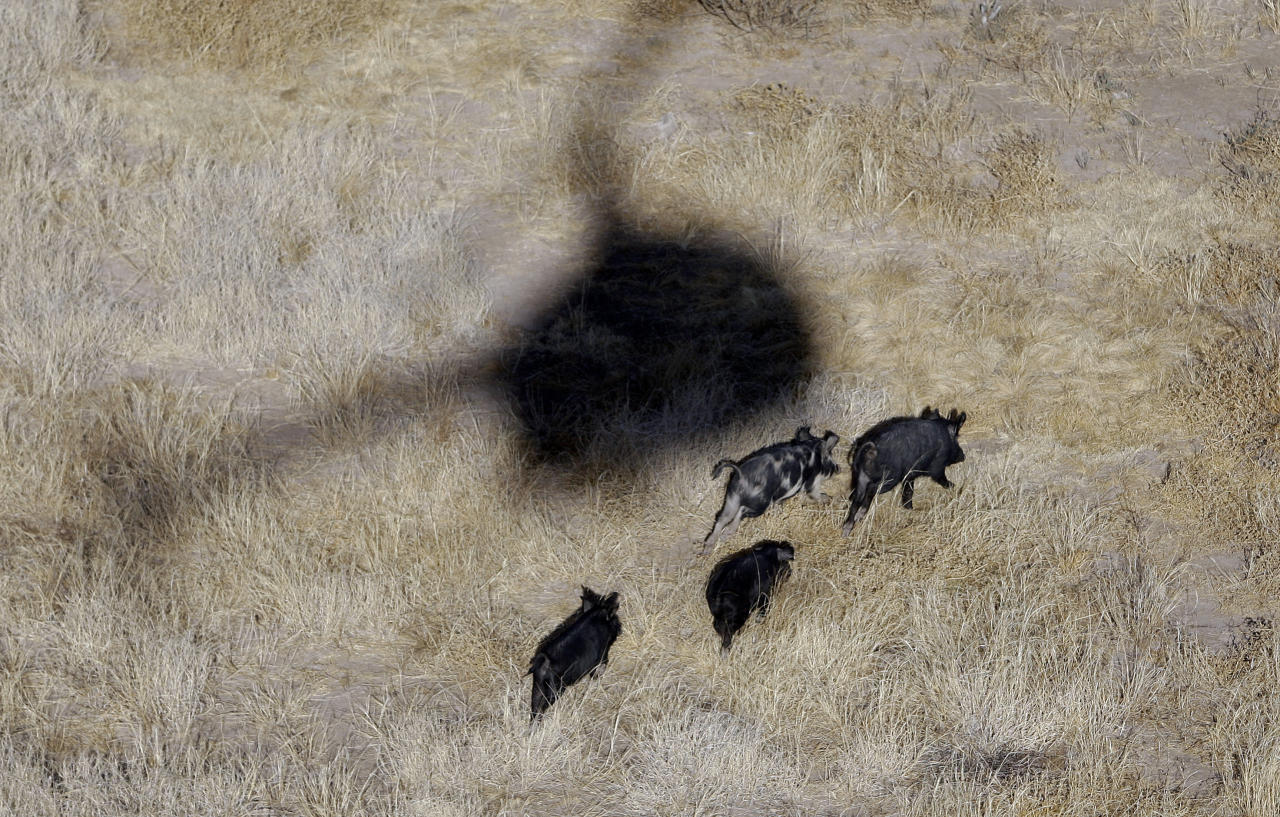 FILE - In this Feb. 18, 2009, file photo, the shadow of a helicopter hovers over feral pigs near Mertzon, Texas. Oklahoma lawmakers are considering a bill to allow hunters to shoot feral hogs from helicopters. Aerial gunners are already used to help control feral swine in Oklahoma, but the work can only be done by trained, licensed contractors with support from the Oklahoma Department of Agriculture Food and Forestry. (AP Photo/Eric Gay, File)
