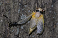 A black carpenter ant pulls on the wing of a cicada just after it shed its nymph shell in Chevy Chase, Md, Thursday, May 13, 2021. (AP Photo/Carolyn Kaster)