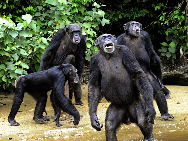 Chimps' beds may be cleaner because they make them freshly in treetops each day: ZOOM DOSSO/AFP/Getty Images