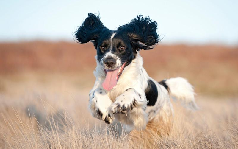 Pure joy on the face of a young spaniel running free  - Dageldog