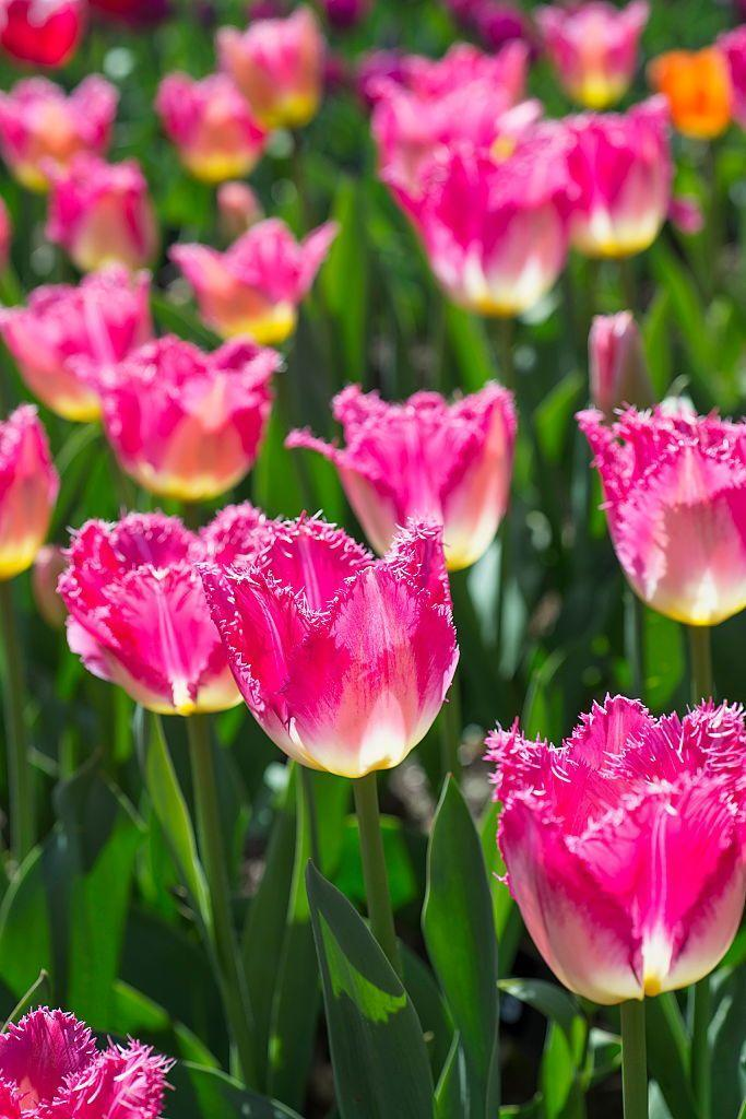 "<p>Tulips signal spring's arrival—typically, they begin to emerge in March. While most feature a single flower, a few kinds can sprout up to four on one stem. Most varieties need lots of afternoon sunlight.</p><p><strong>Bloom seasons: </strong>Spring</p><p><a class=""link rapid-noclick-resp"" href=""https://go.redirectingat.com?id=74968X1596630&url=https%3A%2F%2Fwww.homedepot.com%2Fp%2FVan-Zyverden-Tulips-Bulbs-Triumph-Mixture-Set-of-25-21595%2F302431191&sref=https%3A%2F%2Fwww.redbookmag.com%2Fhome%2Fg35661704%2Fbeautiful-flower-images%2F"" rel=""nofollow noopener"" target=""_blank"" data-ylk=""slk:SHOP TULIPS"">SHOP TULIPS</a></p>"