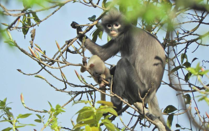 Newly discovered primate 'already facing extinction'