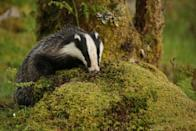 """<p>This camera provides an up close and personal view of wild badgers every day, live from the beautiful countryside in Cumbria. </p><p><a class=""""link rapid-noclick-resp"""" href=""""https://www.cumbriawildlifetrust.org.uk/wildlife/cams/badger-cam"""" rel=""""nofollow noopener"""" target=""""_blank"""" data-ylk=""""slk:WATCH NOW"""">WATCH NOW</a></p>"""