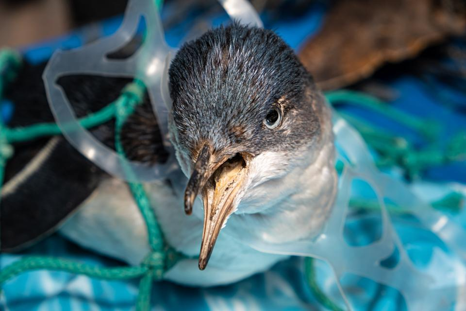 Little penguin trapped in plastic net