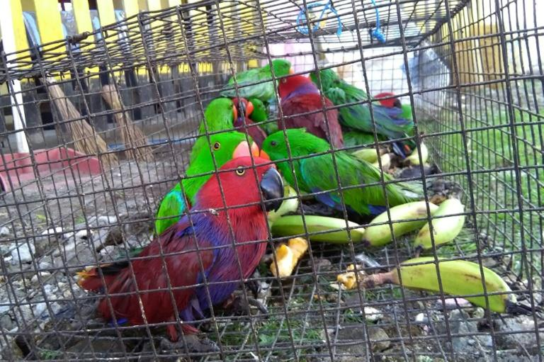 Exotic birds, like the eclectus parrots seen here, are usually poached and trafficked by smuggling gangs for sale as pets and as status symbols