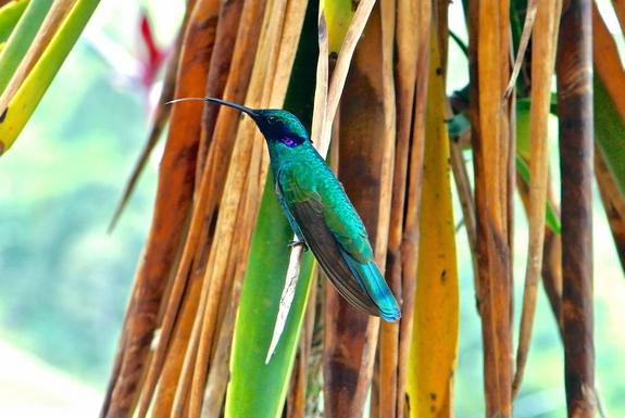 A male sparkling violetear (Colibri coruscans) hummingbird in Bogotá, Colombia. The bird has extended its tongue after feeding from a flower, preparing it for elastic expansion. Hummingbirds fuel their high-speed lifestyle with tiny drops of ne