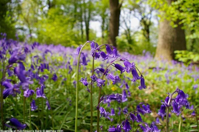 Once known as the fairy flower, Bluebells' sap used to be collected to stick feathers to arrow shafts and as a glue for book-binding