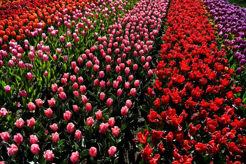 Tulips are seen at the Keukenhof park in Lisse