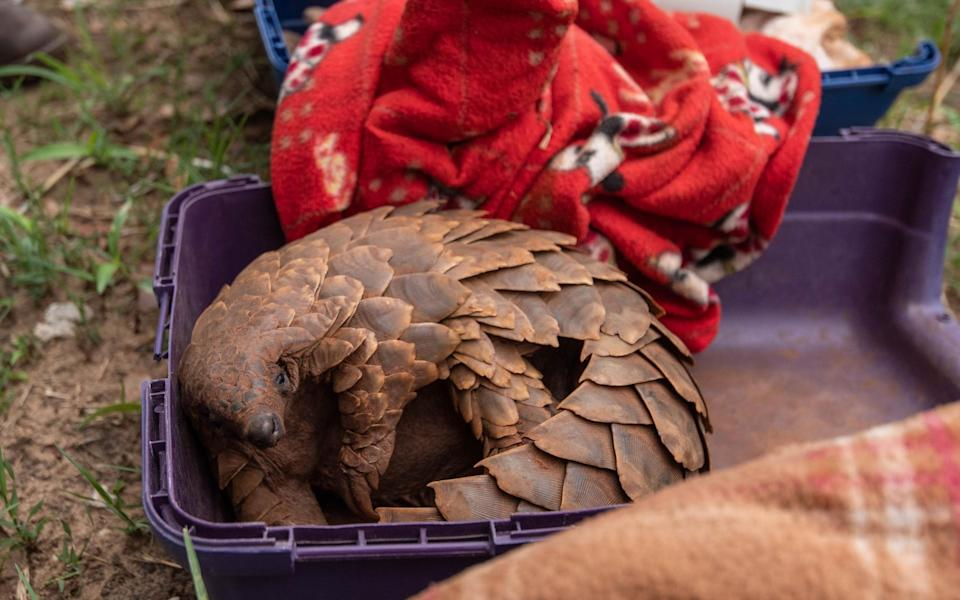The charismatic pangolin is targeted by poachers