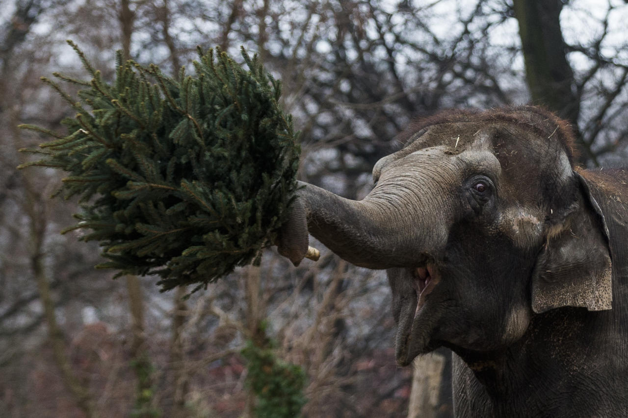 An elephant holds a christmas tree at the Berlin Zoo at the launch of the annual feeding of christmas trees in Berlin, Friday, Jan. 4, 2013. Keeper Dr. Ragnar Kuehne told reporters that today was the first day they when the elephants and some other zoo animals are fed Christmas trees after the holiday period. The trees have not been used and were not sold, they were donated by the vendors in the area. (AP Photo/Markus Schreiber)