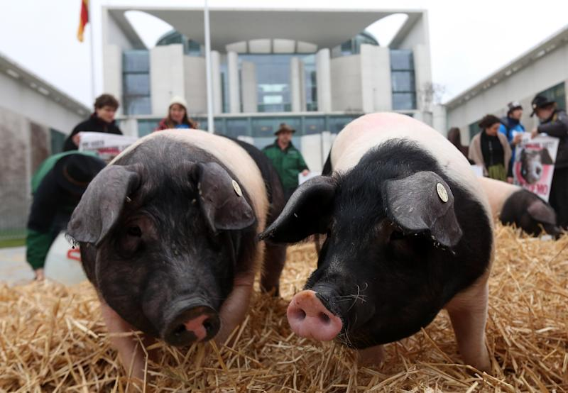 Hog Farmers Protest Against Genetic Modifications In Agriculture