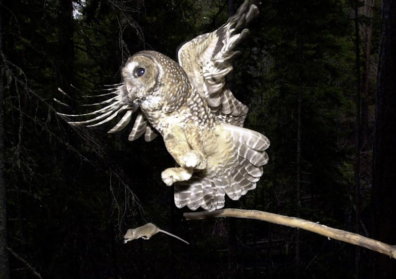 FILE - In this May 8, 2003, fie photo, a northern spotted owl flies after a mouse  offered by a biologist on the Deschutes National Forest near Camp Sherman, Ore.  In the West Coast marijuana-growing region known as the Emerald Triangle, scientists want to know whether rat poison spread around illegal pot plantations is killing northern spotted owls, a threatened species. But because it is so rare to find a spotted owl dead in the forest, the scientists will look at barred owls, an invasive cousin owl that's pushing spotted owls out of their territory. About half the barred owls tested so far have shown rat poison in their tissues. (AP Photo/Don Ryan, file)