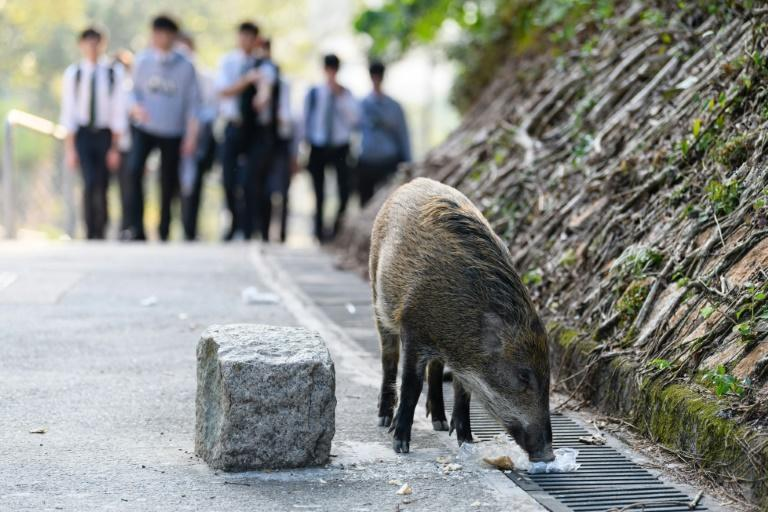 Boars have been filmed running alongside vehicles on roads, jogging down beaches -- and even falling through the ceiling of a children's clothing store