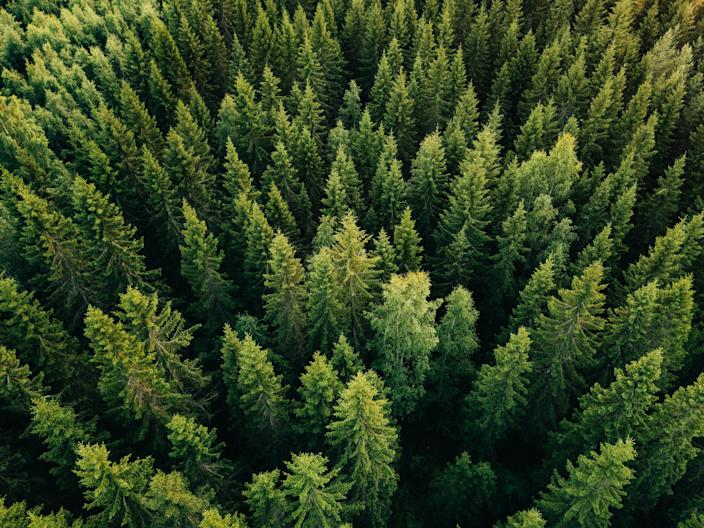 Aerial top view of summer green trees in forest in Finland. (Photo: Getty Images)
