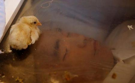 """A chick that symbolizes swift """"Justice"""", lies on top of a glass coffin of Eric Sison, in Pasay city, Metro Manila, in the Philippines, August 29, 2016. REUTERS/Erik De Castro/File Photo"""